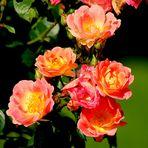 Rosen Blüten