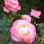 Rosen - eine Aufmunterung bei den trüben Herbsttagen