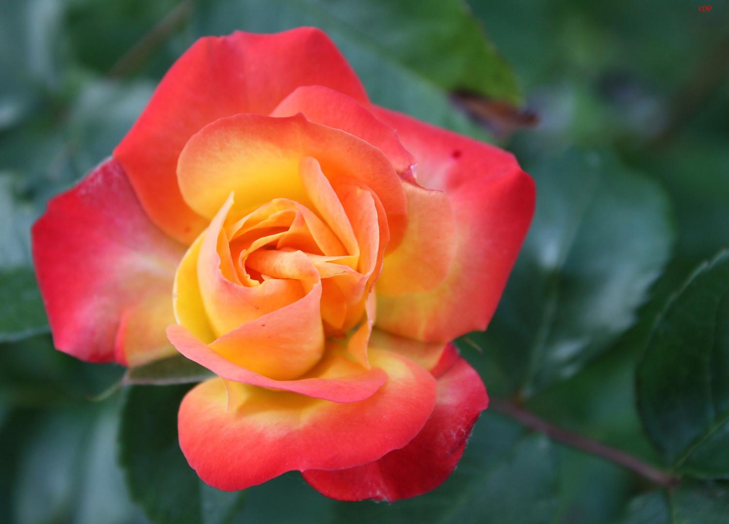 Rosen für die Freunde und - innen