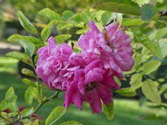 Rosen für die Sinne