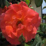 Rosen-Gruss aus Italien