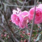 Rosen im Dezember