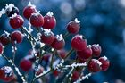 Rosen im Frost