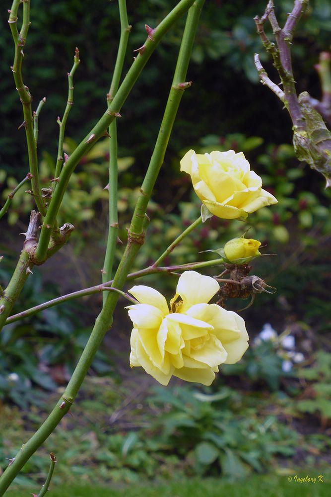 Rosen im Garten am 10.1.19