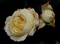 Rosen im Herbst...