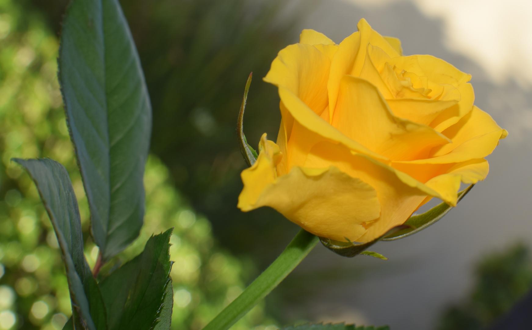 Rosen im Herbst2