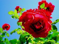 Rosen im Himmel