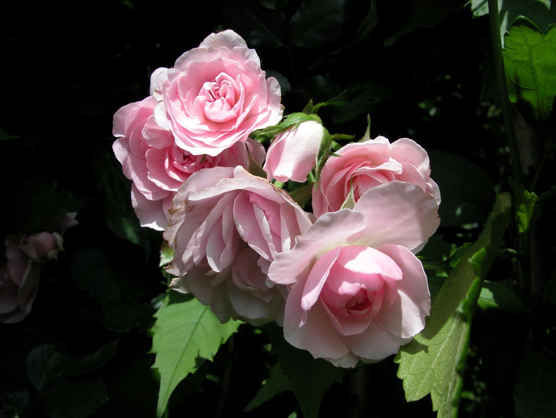 Rosen im Nachbargarten