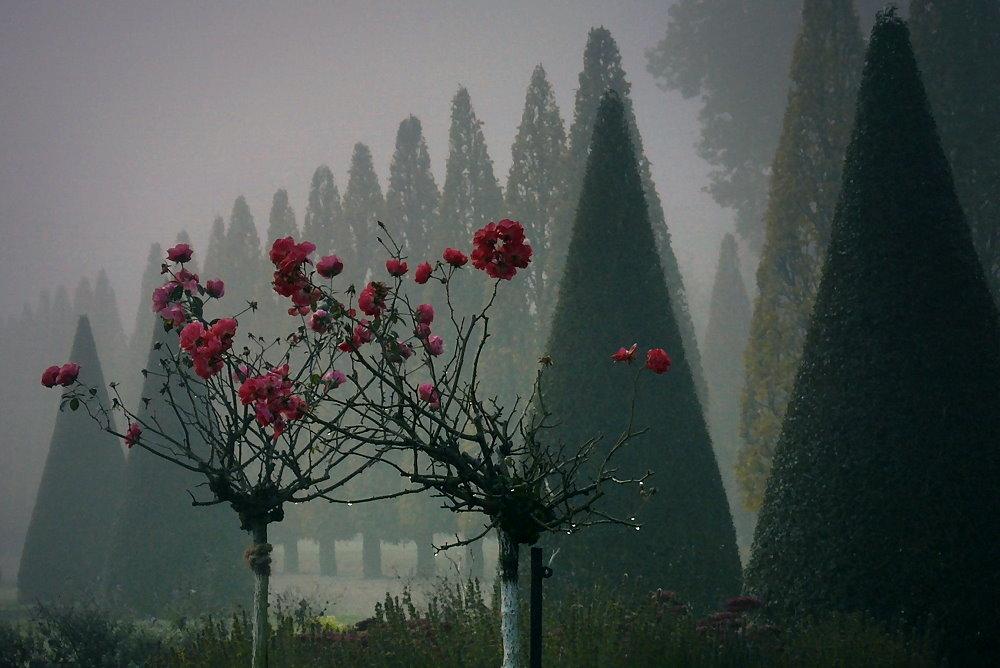 Rosen im Nebel