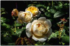 Rosen im Park