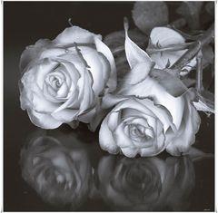 - rosen im spiegel -