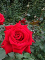 Rosen im Stadtpark Wien (2)