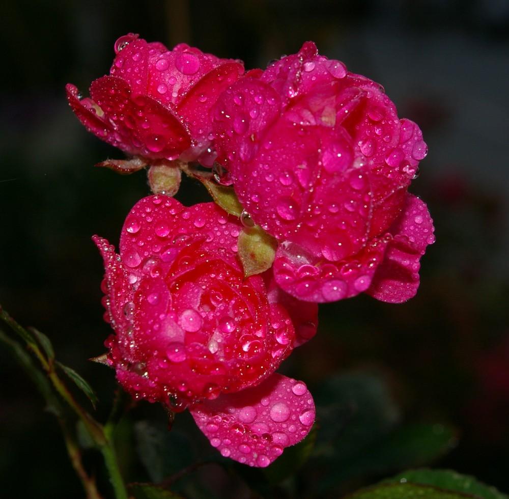 Rosen im Tau