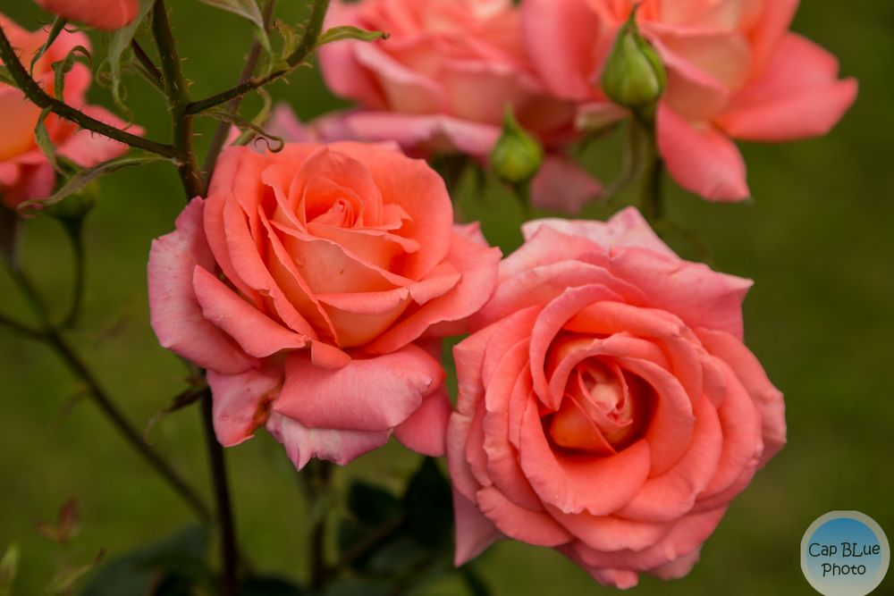 Rosen im Weinort Schweigen