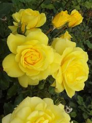 Rosen im Wiener Stadtpark (1)