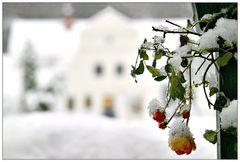 Rosen im Winter ....