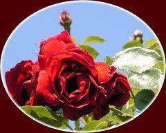 Rosen, immer wieder schön