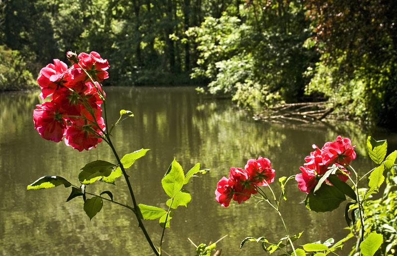Rosen in den Murauen