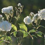 Rosen in der Abendsonne