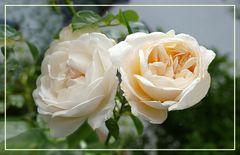 Rosen  in der Natur