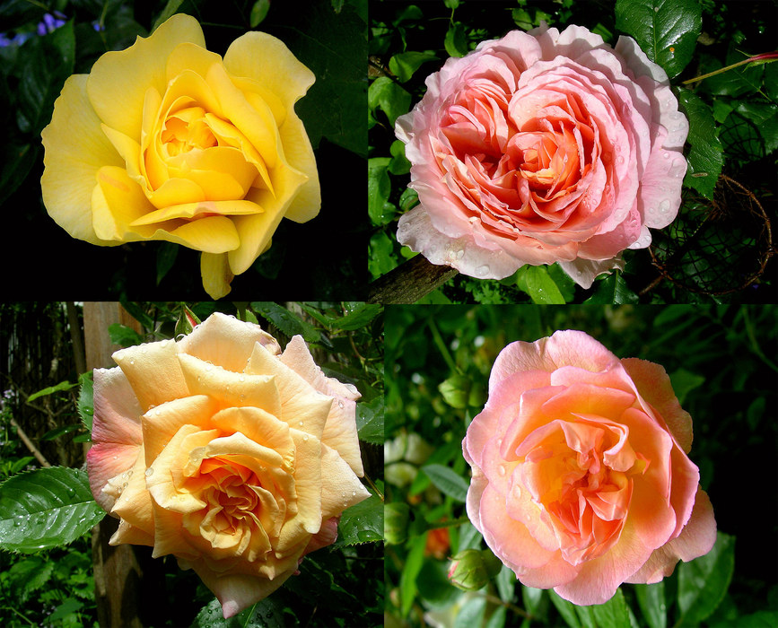 Rosen in meinem Garten