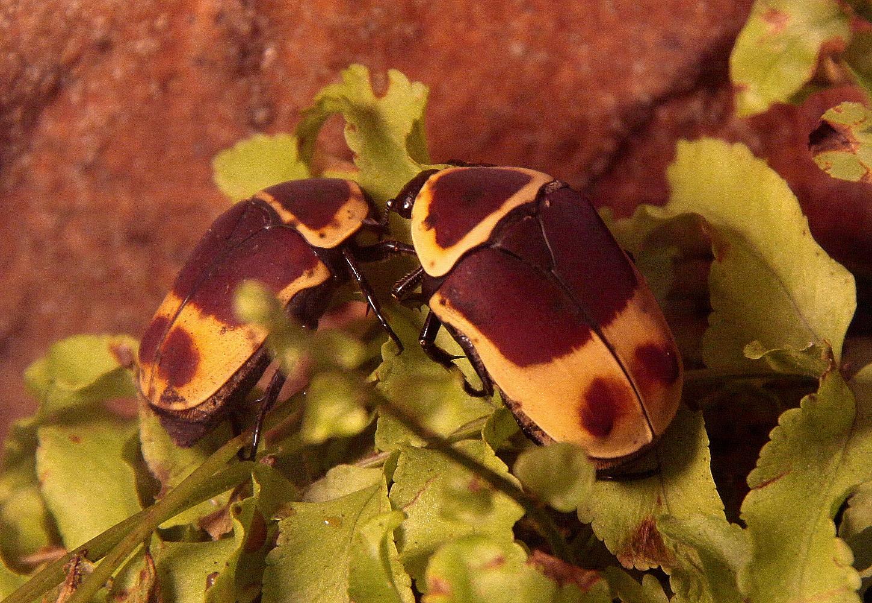Rosen-Käfer