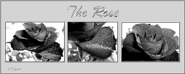 rosen mal schwarz weiss foto bild pflanzen pilze flechten bl ten kleinpflanzen rosen. Black Bedroom Furniture Sets. Home Design Ideas