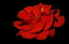 Rosen mögen`s warm und hell, ...