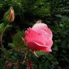 Rosen nach (künstlichen) Regen