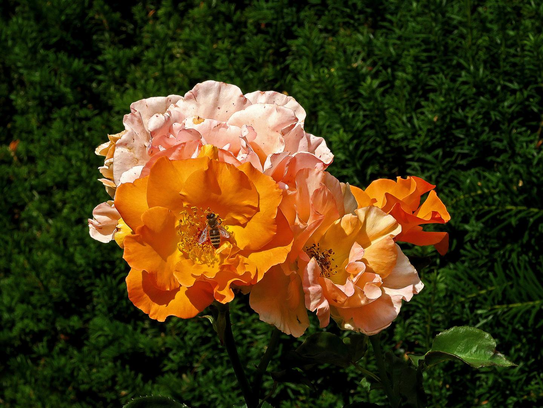 Rosen orange-rosa  mit Biene