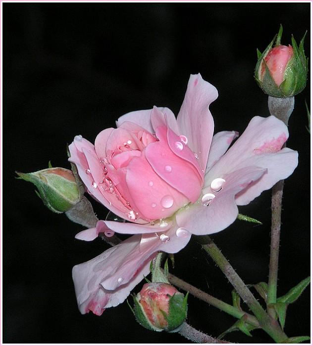 Rosen-Poesie I