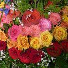 Rosen-Regenbogen in Rosenausstellung
