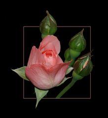 Rosen # Rosas