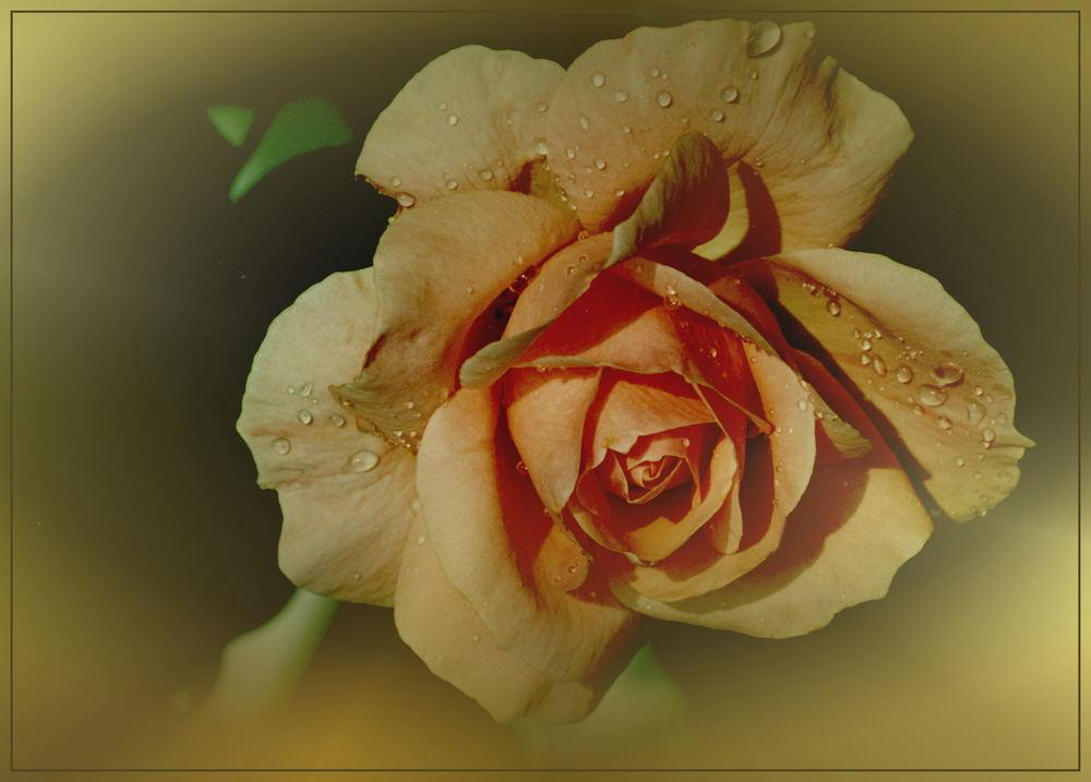 Rosen sind..........