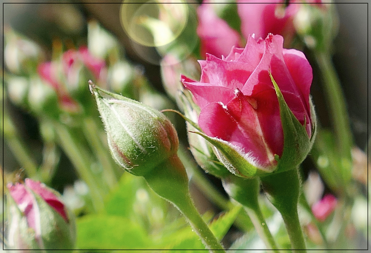 Rosen sind Seelen....