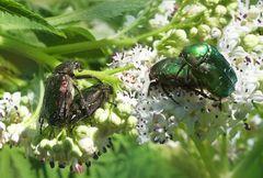 Rosen- und andere Käfereien