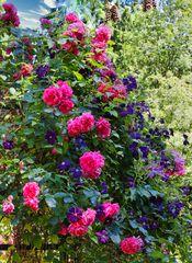 Rosen und  Clematis