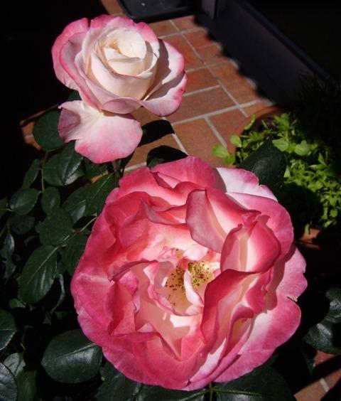Rosen - voll erblüht