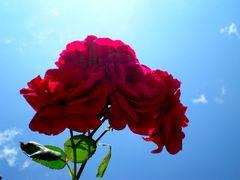 Rosen vom Licht durchflutet