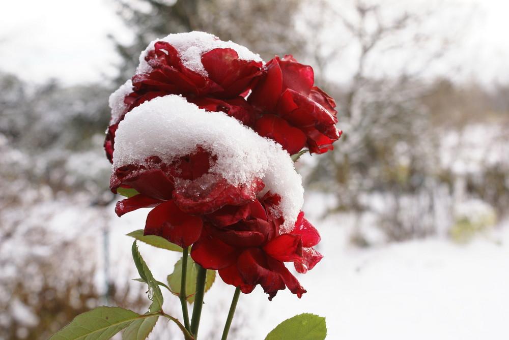 Rosen von Schnee bekränzt
