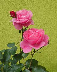 Rosen vor unserem Haus...