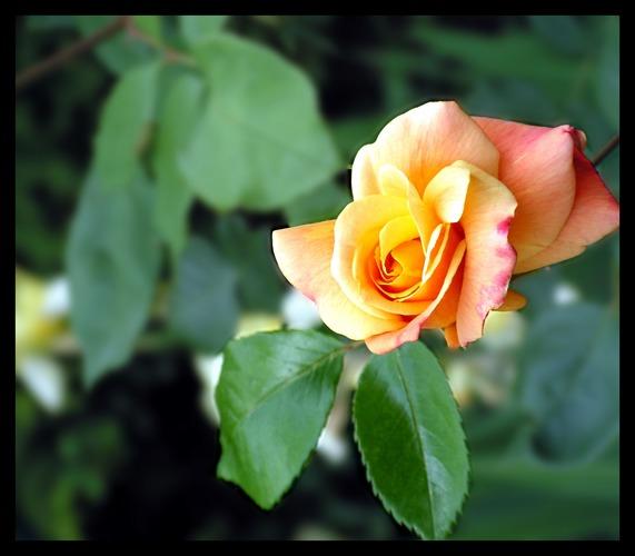 Rosen zeitlos schön