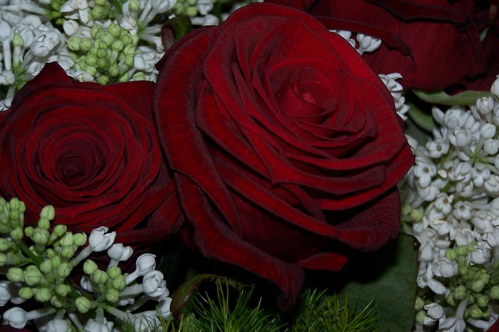 Rosen zu Weihnachten Foto & Bild | pflanzen, pilze & flechten ...