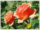 Rosen zum Sommerbeginn