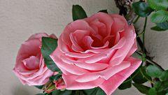 Rosen zum Sonntag