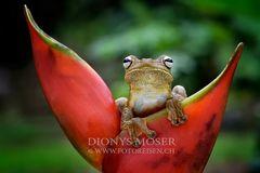Rosenberg's Gladiator-Frog (Hypsiboas rosenbergi)