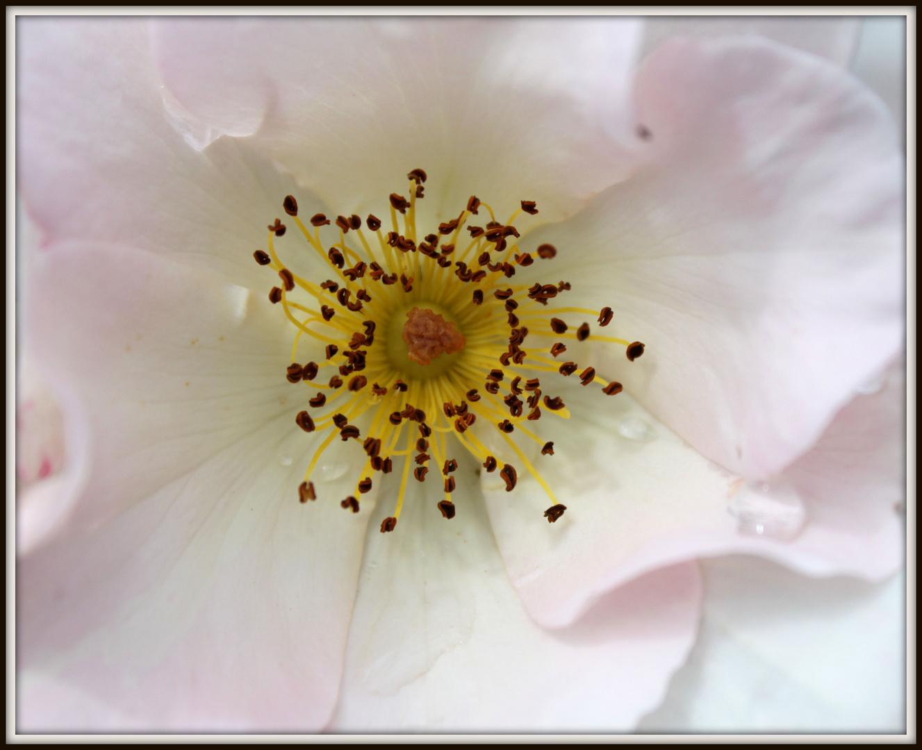 Rosenblüie