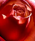 Rosenblüte 1