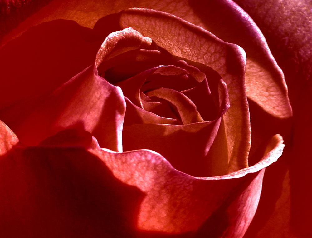 Rosenblüte 2