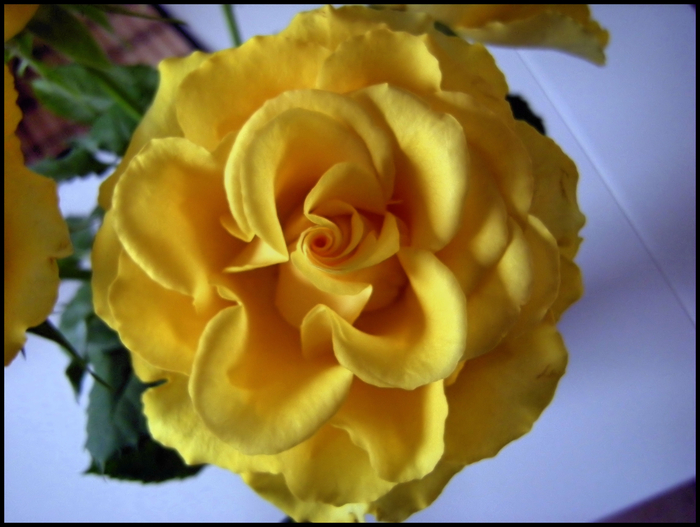 ...Rosenblüte